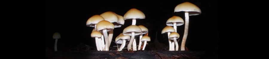 wild magic mushrooms